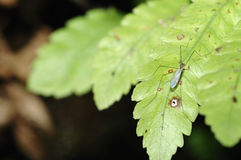 Mosquito and green leaf Royalty Free Stock Photos