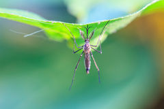Mosquito on green leaf Royalty Free Stock Images