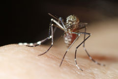 Mosquito on hand Royalty Free Stock Photo