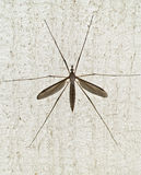 Mosquito hawk. Close-up of a mosquito hawk Royalty Free Stock Photography