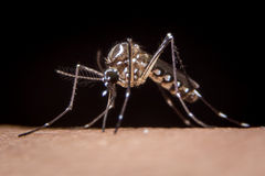 Mosquito on human skin. In black background Stock Photos