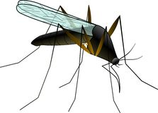 Mosquito. A mosquito is an insect Stock Image