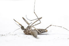Mosquito. Insect that brings disease and nuisance Royalty Free Stock Image