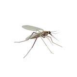 Mosquito isolado Ilustração do mosquito Opinião do macro do inseto ilustração stock