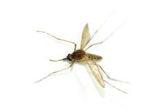 Mosquito isolado no fundo branco Fotos de Stock