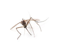 Mosquito isolated on white Royalty Free Stock Images