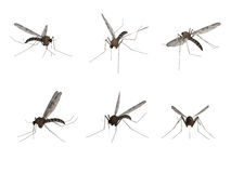 Mosquito, isolated on white background Royalty Free Stock Photography