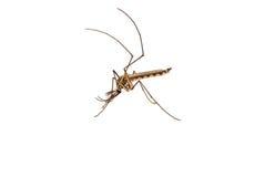 Mosquito isolated Stock Photo