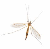 Mosquito isolated on white Stock Images