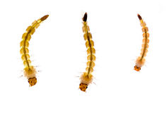 Mosquito larvae over white, macro. Different poses! Extreme closeup. Each animal about 6mm in size Stock Images