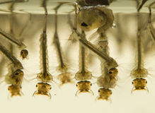Mosquito larvae Royalty Free Stock Photography