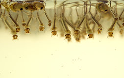 Mosquito larvae Royalty Free Stock Image