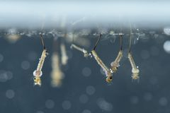 Mosquito larvae in underwater. royalty free stock images