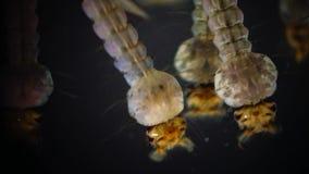 Mosquito, larvas y crisálidas en agua contaminada Pipiens del mosquito almacen de metraje de vídeo