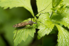 Mosquito an a leaf Royalty Free Stock Photography