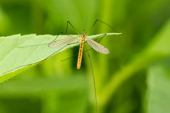 Mosquito  on the leaf Stock Photography