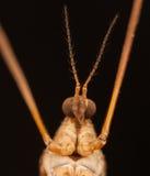 Mosquito with long legs Crane fly macro closeup Stock Photos