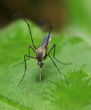 Mosquito in macro Royalty Free Stock Images
