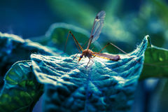 Mosquito in macro on green leaf. Stock Photography