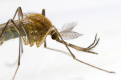 Mosquito Macro Photograph Royalty Free Stock Images