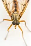 Mosquito 2 Stock Image