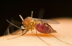 Mosquito. Macro of a mosquito sucking blood on a human skin Stock Image