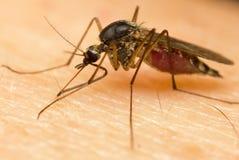 Mosquito stock photography