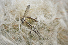 Mosquito macro view stock photography