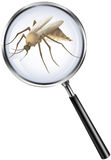 Mosquito through magnifying glass Stock Image