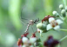 Mosquito masculino que senta-se em uma flor da madeira da sandália Imagens de Stock Royalty Free
