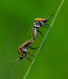 Mosquito. Mating of mosquito on a grass leaf Stock Image