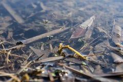 Mosquito na água Imagem de Stock