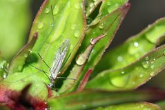 Mosquito na planta da peônia com gotas da água foto de stock