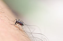 Mosquito in nature Stock Photography