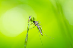 Mosquito in nature Royalty Free Stock Photography