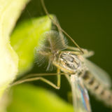 Mosquito in nature. close-up Royalty Free Stock Photo