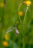 Mosquito nematocera Stock Photo