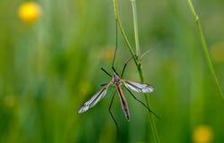 Mosquito nematocera Royalty Free Stock Images