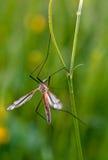 Mosquito nematocera Royalty Free Stock Image