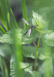 Mosquito on nettle leaf. Big mosquito on nettle leaf royalty free stock image