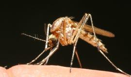 Mosquito no trabalho Imagens de Stock Royalty Free