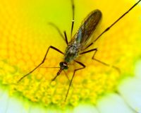 Mosquito Stock Images