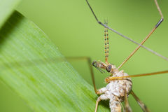 Mosquito portrait Stock Images