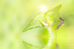 Mosquito resting on green leaf Stock Images