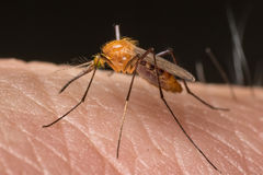 Mosquito resting on human flesh Royalty Free Stock Images