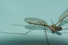 Daddy-long-legs stock images