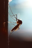 Mosquito silhouetted Stock Photography