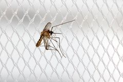 Mosquito sits on a curtain at a window. Royalty Free Stock Image