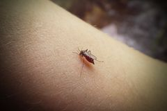 A mosquito sits on a human`s hand and drinks blood. Mosquito full of blood stock photos