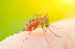 Mosquito on skin human. Macro Dangerous Zica virus aedes aegypti mosquito on skin human Stock Images